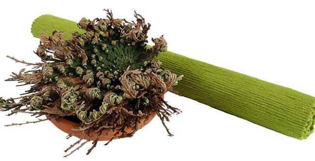 Jerihonska-roža-zvitek